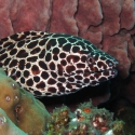 Black-spotted Moray Eel