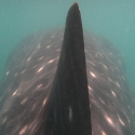 Walhai in Donsol