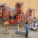 Jaisalmer Camels