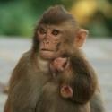 Kathmandu Macaque