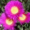 Huge ice plant flowers
