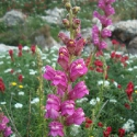 Malta's Wildflowers