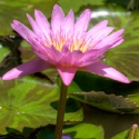 Frog Lily