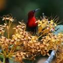 Penang Bird