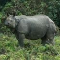 Indian Rhinos