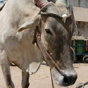 Indian Brahman Bull