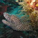 Black-spotted Moray