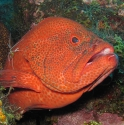 Tomato Grouper and Yellowmargin Moray