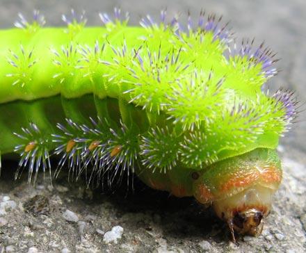 Caterpillar in Emei Shan