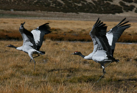 Black-Necked Cranes, Tibet