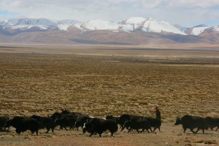 Yak Herd by Mount Kailash