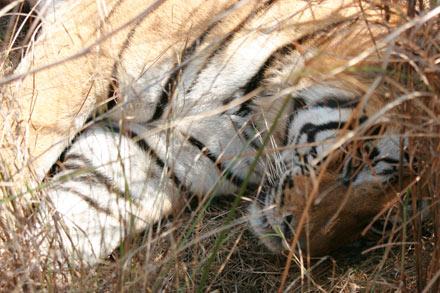 Royal Bengal Tiger, Bandhavgarh National Park