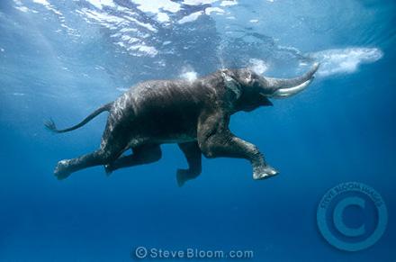 Swimming Elephant Havelock Island