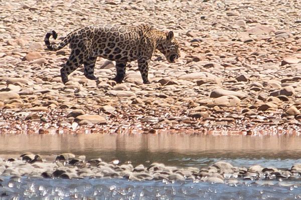 Jaguar along Tambopata River