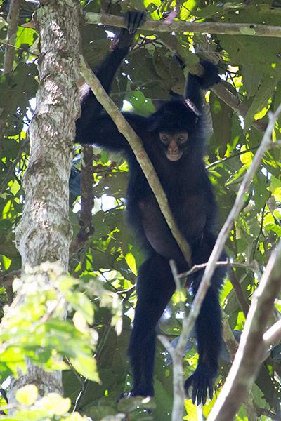 Spider monkey Tambopata region