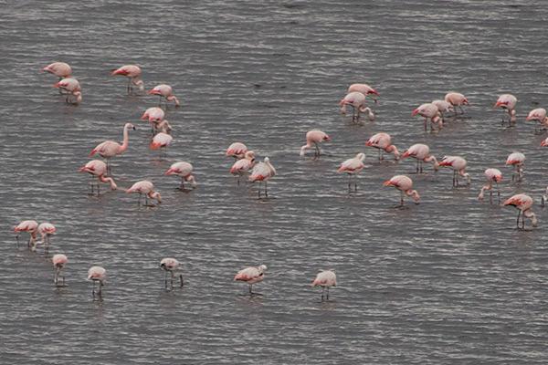 Flamingos in Salinas y Aguada Blanca National Park
