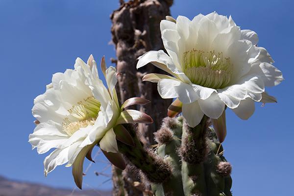 Cactus flowers in Colca