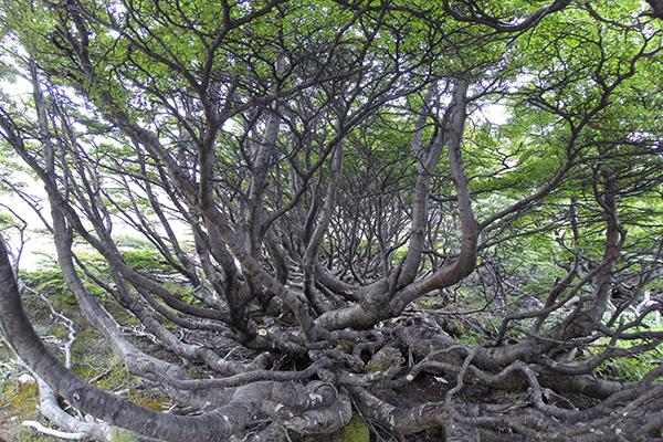 Gnarled forest, Ushuaia