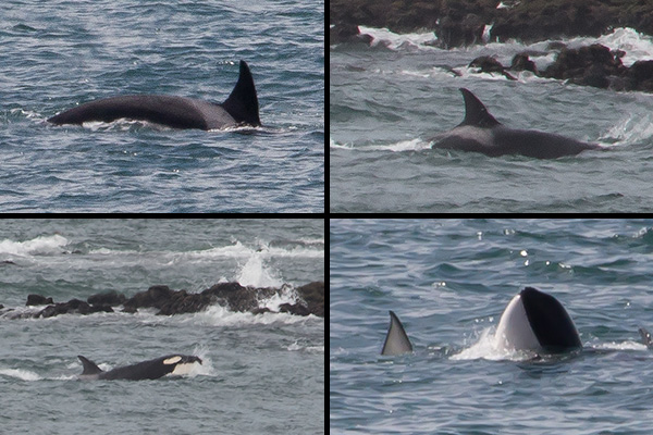 Killer whales of Punta Norte