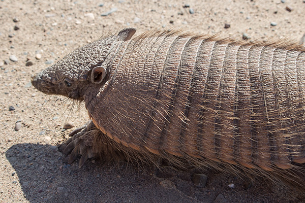 Armadillo on Península Valdés