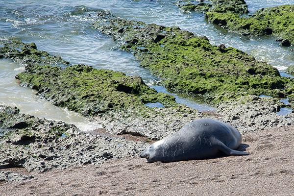 Southern elephant seal in Punta Norte, Península Valdés