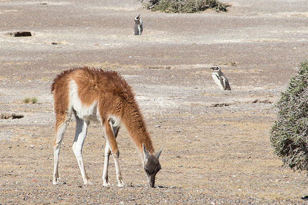 Guanaco and penguins at Punta Tombo
