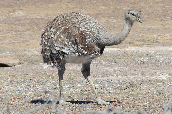 Choique (lesser rhea) in Punta Tombo