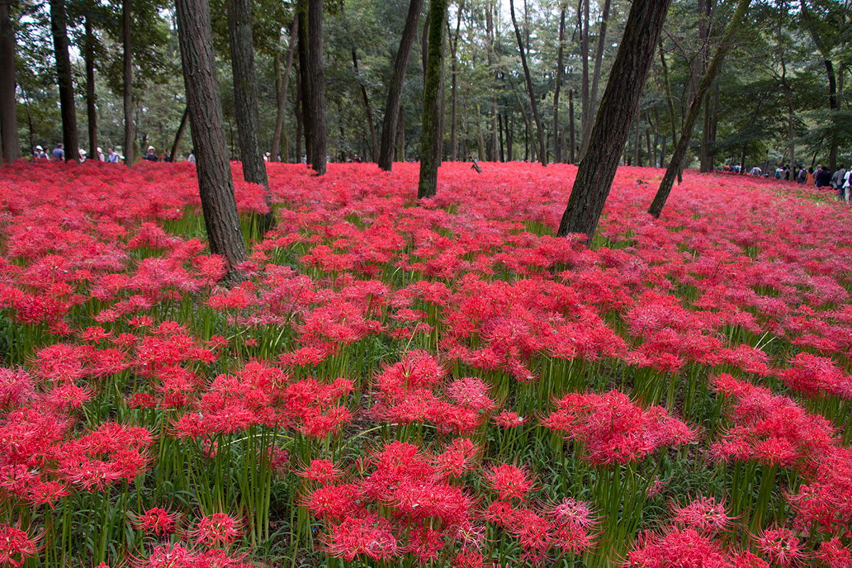 japan-spider-lilies-1