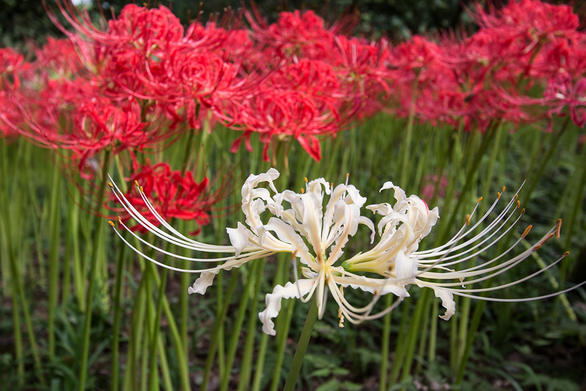 japan-spider-lilies-10
