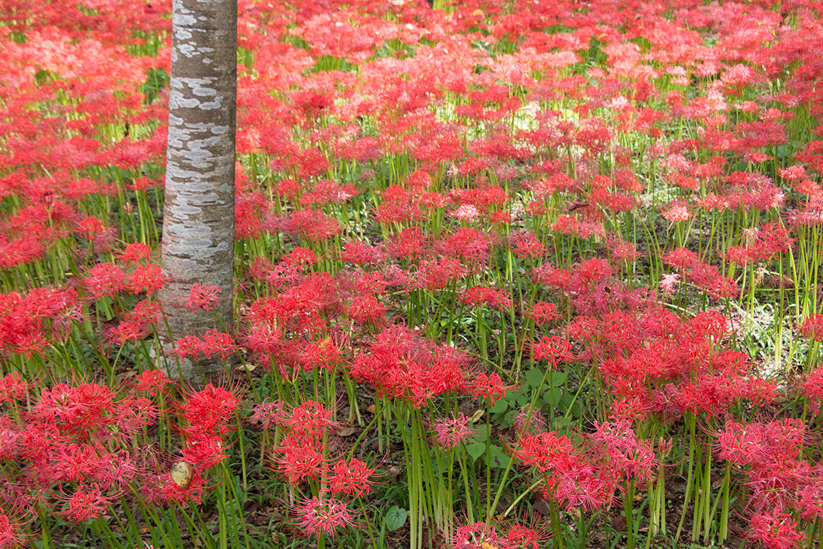 japan-spider-lilies-11