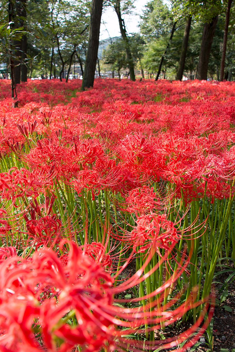 japan-spider-lilies-14