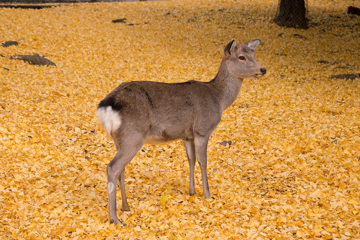 Kyoto autumn leaves: A deer wandering over a carpet of ginkgo leaves in Nara