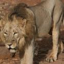 The Lions of Sasan Gir