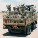 Camels in a Daihatsu