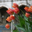 Tulips in the Süleymaniye Mosque