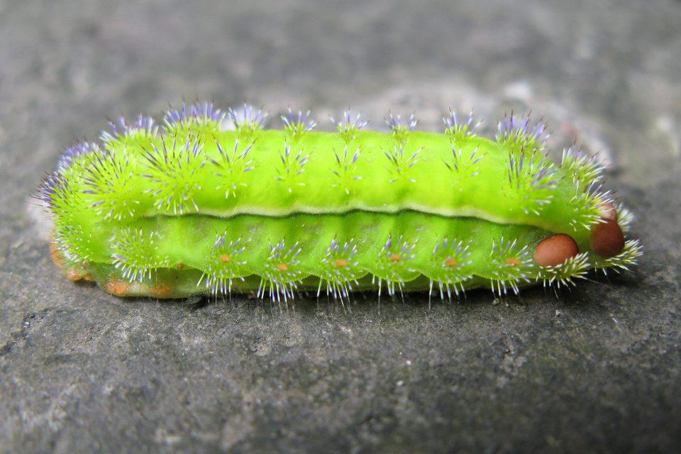 Caterpillar on Emei Shan