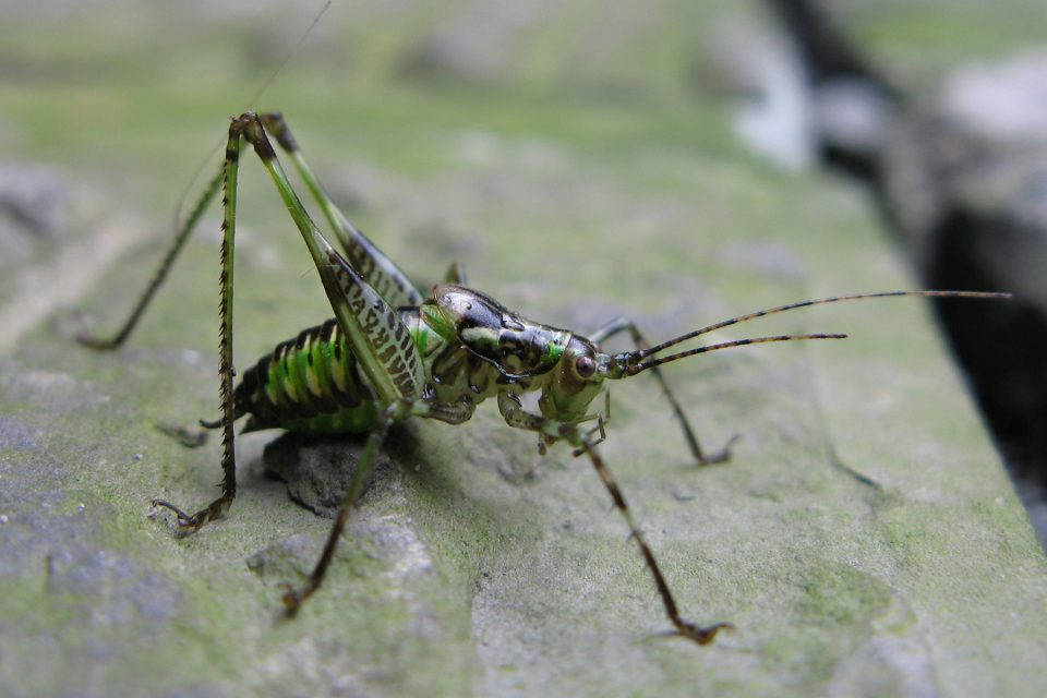 Cricket on Emei Shan