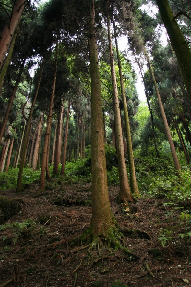 Forests on upper slopes of Emei Shan
