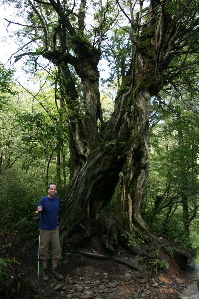 Beautifully gnarled tree on Emei Shan