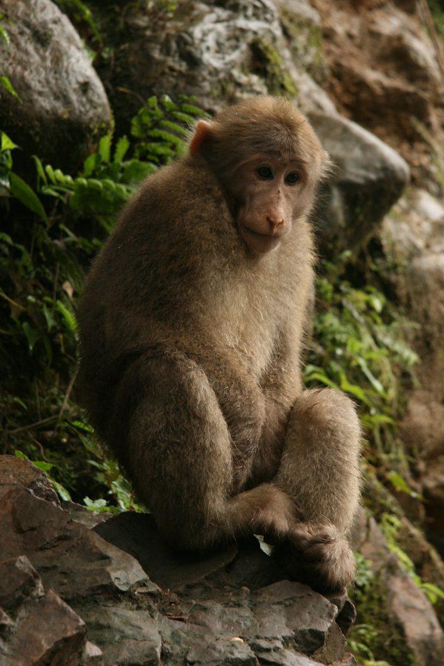 Tibetan macaque on Emei Shan