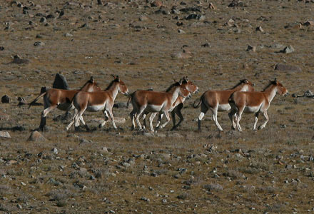 Eastern Kiang, Tibet