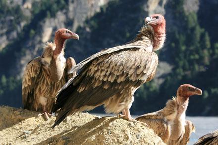 Himalayan Griffons