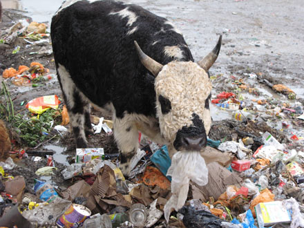 Trash Eating Cow