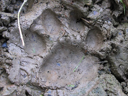Tiger Paw Print, Chitwan National Park