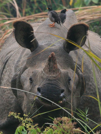 Indian Rhino, Chitwan National Park