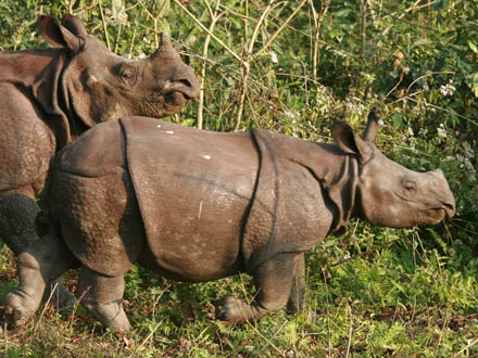 Indian Rhino Mother with Calf, Chitwan National Park