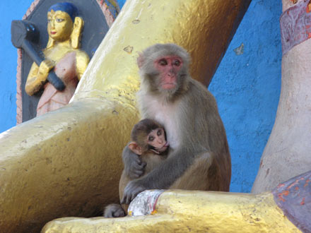 Swayambunath Monkeys