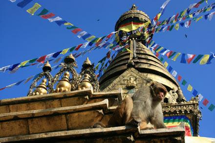 Swayambunath Monkeys