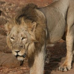The Lions of Sasan Gir