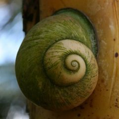 Giant Tree Snail